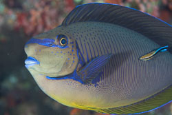 BD-150421-Maldives-7552-Naso-vlamingii-(Valenciennes.-1835)-[Bignose-unicornfish].jpg